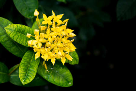 Close up yellow west indian jasmine flower background and copyspace