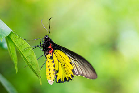 Golden birdwing butterfly hanging on green leaf close up image nature insect background