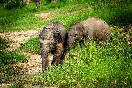 CHIANG MAI, THAILAND - June 16, 2012  Two baby elephants playing in grassland field  photo
