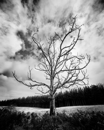 Black and White Alone Dead Tree with dramatic sky and pine plantation in the background photo