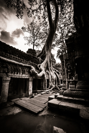 Trees growing out the ruin of Ta Prohm, Angkor Wat. photo