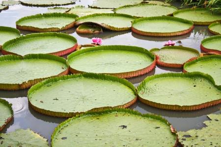 Lotus Wallpaper Stock Photo