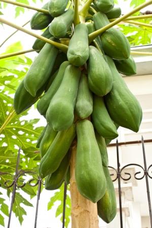 Green papaya in the Garden Stock Photo