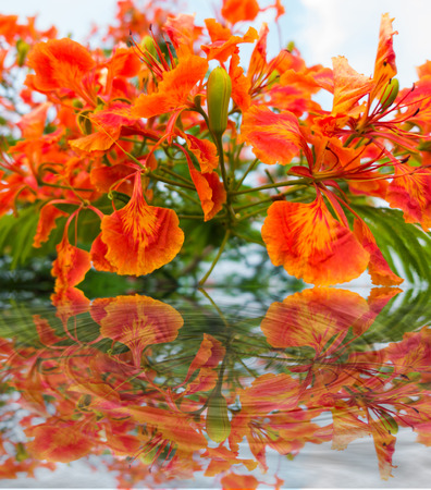 Peacock Flowers orange flowers booming, Caesalpinia pulcherrima with water reflection on pure white background