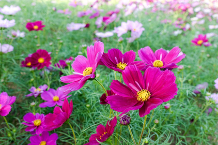 Sulfur Cosmos Flower in the garden