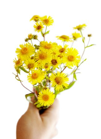 Yellow daisy in hand, isolated on white background. photo