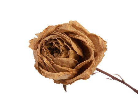 dried rose isolated on white background. photo