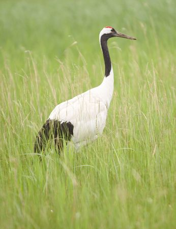domestication:  red-crowned crane standing in grass field.