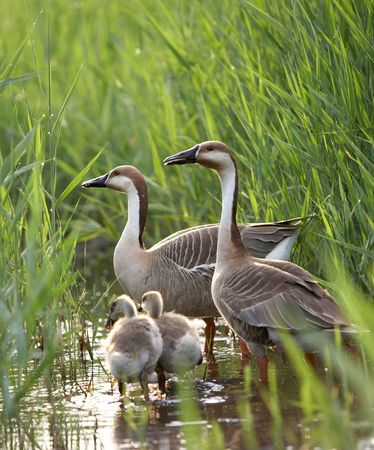 a shot of duck family in summer photo