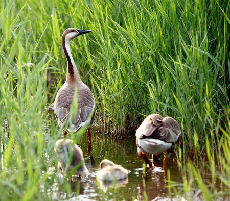 duck family Stock Photo - 4691526