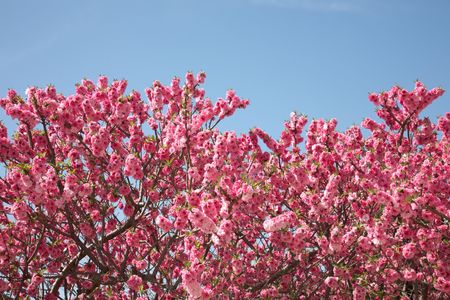 peach tree with soft flowers in spring day. photo