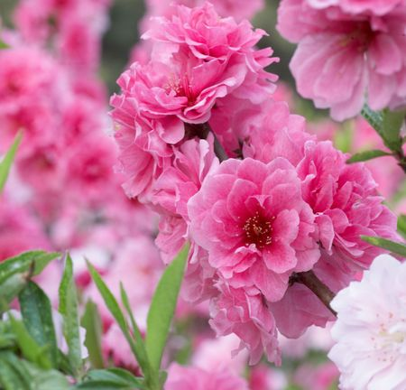 pink spring flowers photo