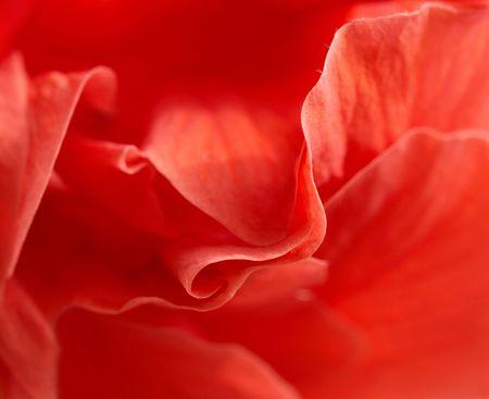 splendid: closeup of red rose petal. Stock Photo