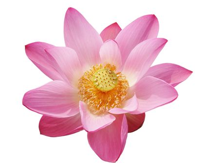 pink lotus Stock Photo - 4774381