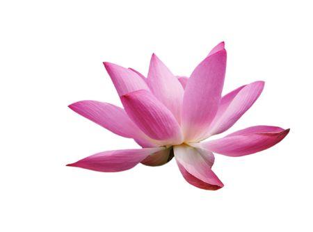 lotus Stock Photo - 4774379