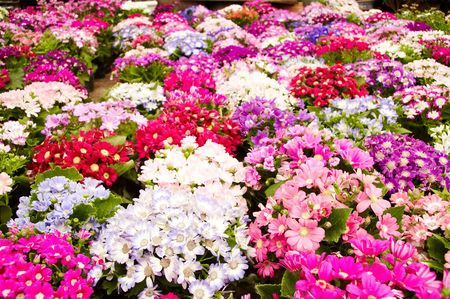 colorful daisy at flower market. photo