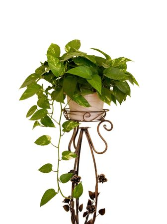 Green leaves houseplant placed on a cuprous stand,isolated on white background photo