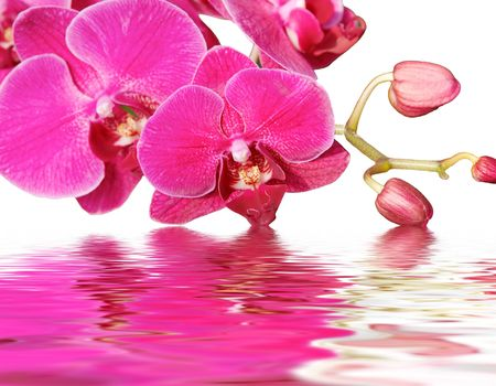 orchid with reflection on water