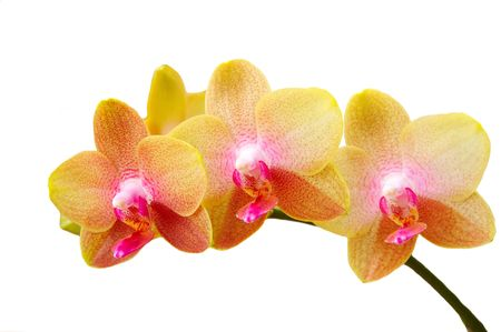 soft yellow orchid isolated on white background. photo