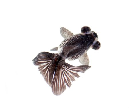 fishy: black swimming fish isolated on white background. Stock Photo