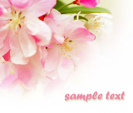 soft pink apple blossoms on white background. photo