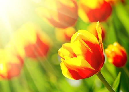 multicolored tulips in the garden. photo