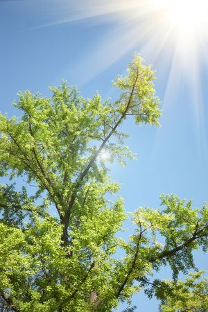 ginkgo tree against blue sky photo