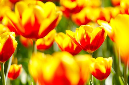red and yellow tulip flowers in springtime, shallow depth of field. Stock Photo - 4816536