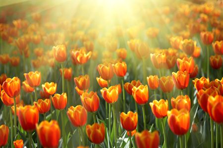 flowerbed with colorful tulips under bright sunshine photo