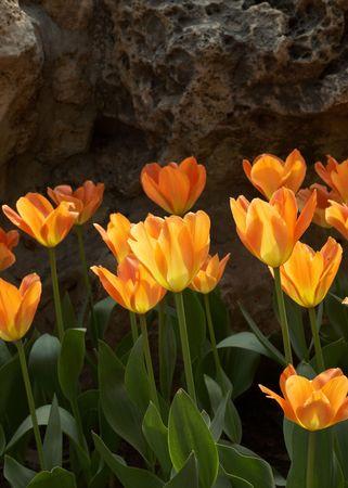 coloful: coloful tulip in spring garden Stock Photo