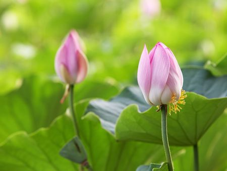 lotus bud Stock Photo - 5148326