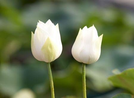 white lotus buds Stock Photo