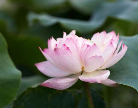 flower of live: lotus