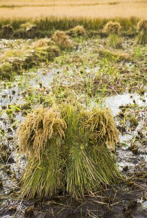 Bundle of rice paddy for harvesting  photo