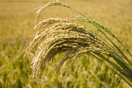 cropland: rice paddy