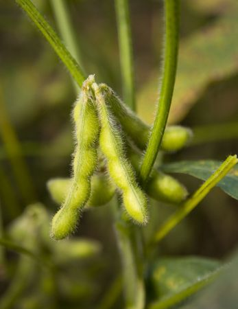 soya bean: Soybean