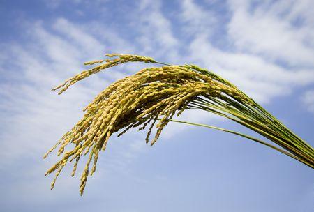 planta de maiz: arroz con cáscara  Foto de archivo