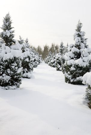 lone pine: pine trees covered by heavy snow.
