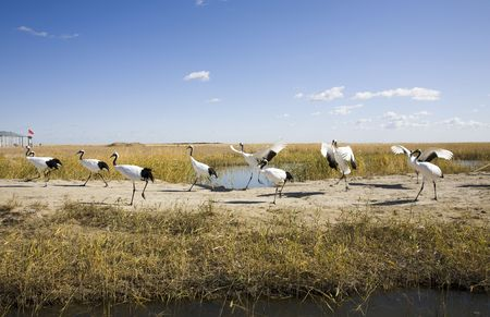 a flock of red-crowned cranes  photo