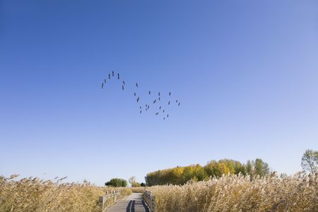 Flock of wide goose flying over yellow grassland against blue sky  photo