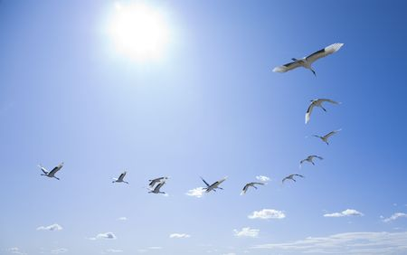 migrating animal: flying birds Stock Photo