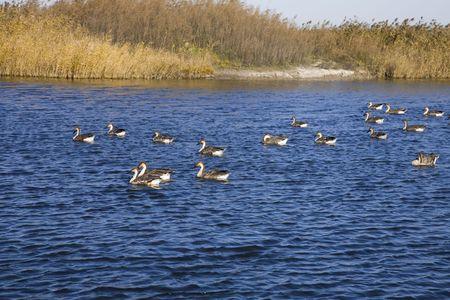wild goose Stock Photo - 6237694