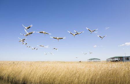 zwerm vogels: vliegende vogels Stockfoto