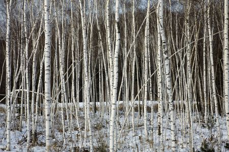 birch trees in a winter forest  photo