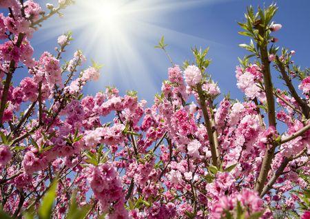 peach blossom with sunlight photo
