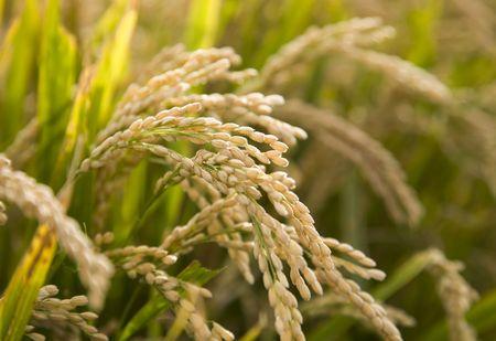 rice crop: paddy rice