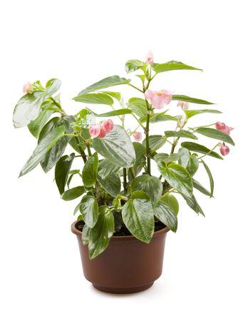 r image: Begonia en maceta  Foto de archivo