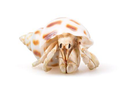 crab: Hermit Crab  Stock Photo