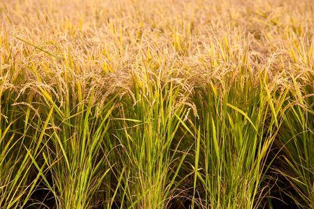paddy rice Stock Photo - 7786940