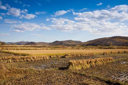 autumn paddy field Stock Photo - 7849949